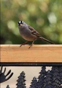 Drake's Sparrow9