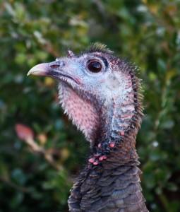 Drake's Turkey1