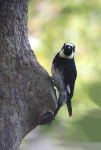 Drake's Woodpecker 98