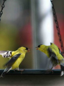 Finches Fight Over Water Rights