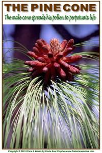 Pine Cone 10