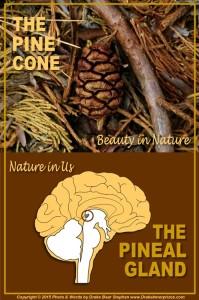 Pine Cone s5