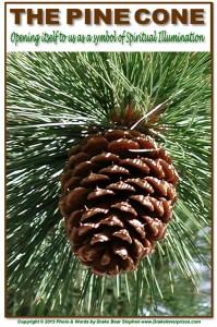 Pine Cone s7